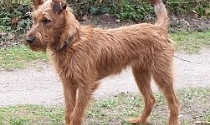 Uni ungetrimmt, Irish Terrier