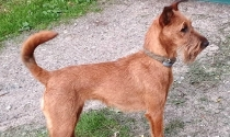 Uni nach dem trimmen, Irish Terrier